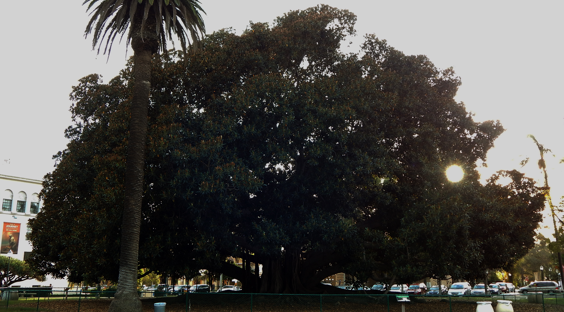Moreton Bay Fig Tree in Balboa Park