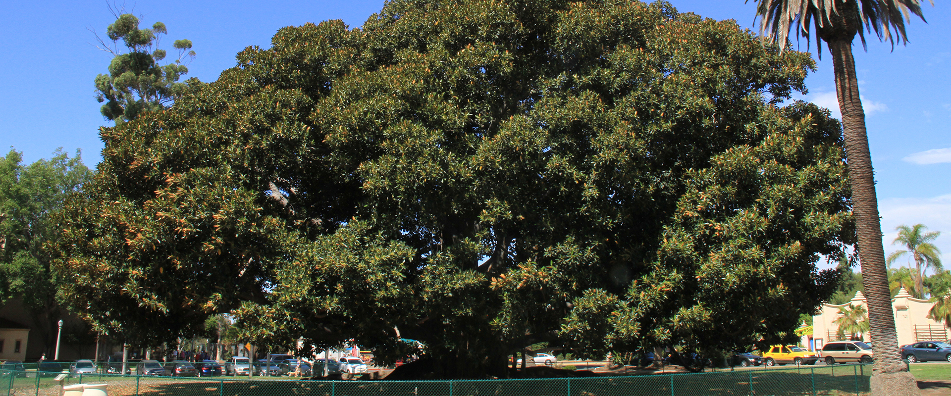 Moreton Bay Fig Tree