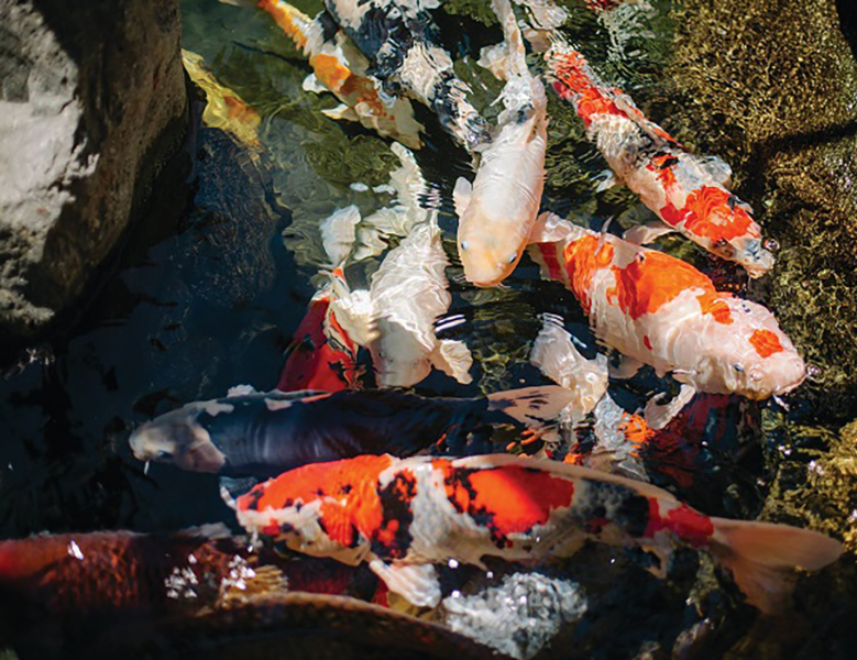 Koi in the garden