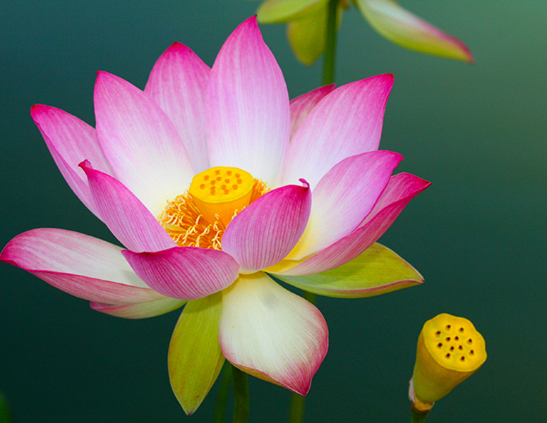 Lotus in the Lily Pond